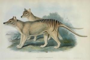 Gould_Tassie_Tiger
